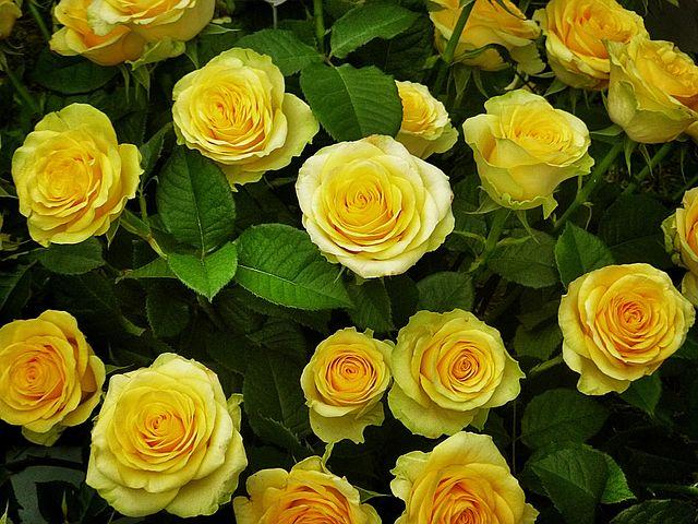 Rosen in allen Farben alt=